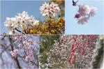 2021年奈良公園桜.jpg