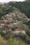 山の中の桜.JPG